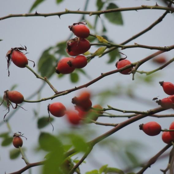 Šípek plod drcený